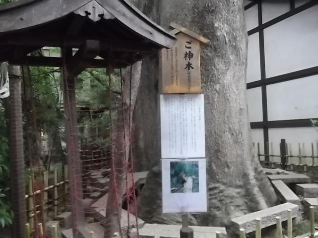 川越氷川神社 ご神木