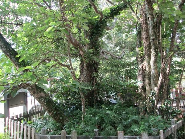 まるばちしゃの木
