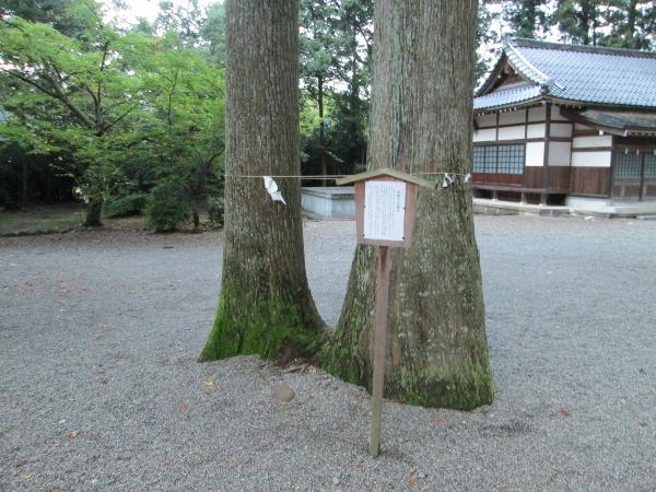 岩峅の夫婦杉